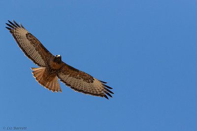 0U2A5093_red-tailed Hawk