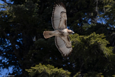 0U2A4624_Red-tailed Hawk