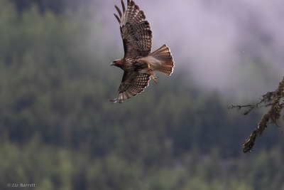 0U2A6366_Red Tailed Hawk