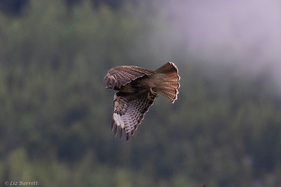0U2A6367_Red tailed Hawk
