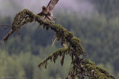 0U2A6363_REd Tailed Hawk