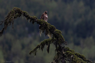 0U2A6304_Red Tailed Hawk