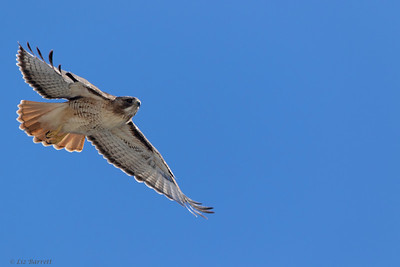 0U2A4487Red Tailed Hawk