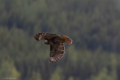 0U2A6369_Red tailed Hawk