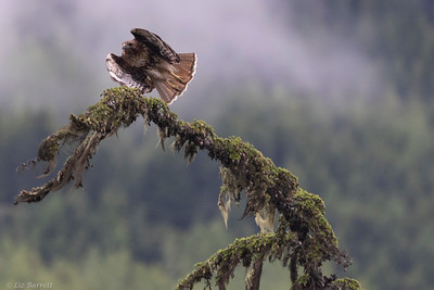 0U2A6364_Red Tailed Hawk