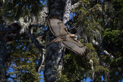 0U2A4616_Red-tailed Hawk