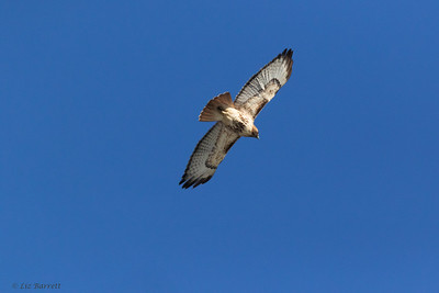 0U2A4350 _ Red-tailed Hawk