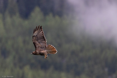 0U2A6368_Red Tailed Hawk