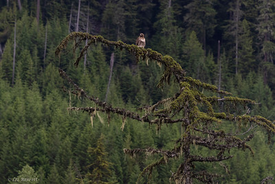 0U2A6262_Red tailed Hawk