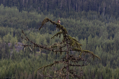 0U2A6307_REd Tailed Hawk in forest