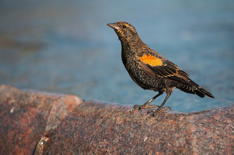 North America, USA, Illinois, Chicago, River Esplanade Park Fountain, Red-winged Blackbird