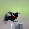 North America, USA, Florida, Venice, Audubon Sanctuary, Red-winged Blackbird