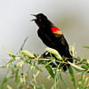 North America, USA, Florida, Venice, Audubon Sanctuary, Red-winged Blackbird