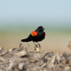 North America, USA, Florida, Pahoke, Red-winged Blackbird