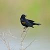 North America, USA, Florida, Clewiston,  Red-winged Blackbird