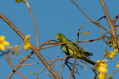 Red-winged Parrot - Female