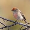 Red-capped Robin - Petroica goodenovii