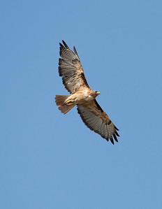 Redtail alone again