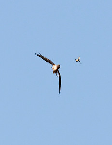 Redtail Hassled by Bluebird