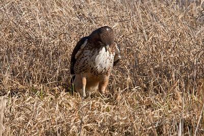 Redtail Hawk subduing prey