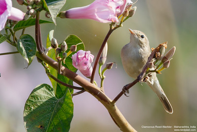 Clamorous Reed-Warbler - Maharashtra, India