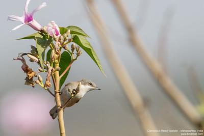Clamorous Reed-Warbler - Maharashtra, India