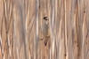 Sedge Warbler, Sivsanger, Acrocephalus schoenobaenus, Amager, Danmark