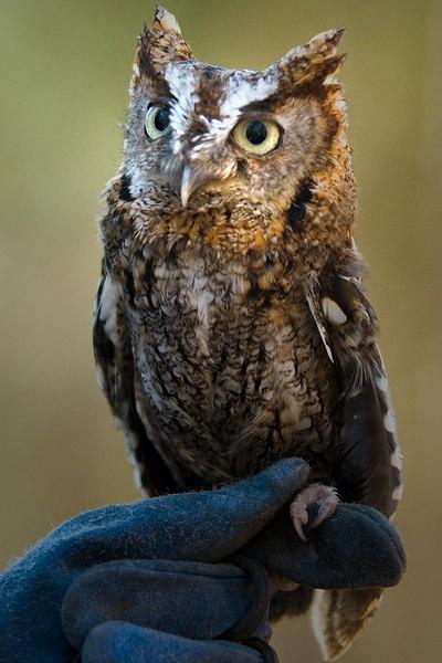 Same Screech Owl