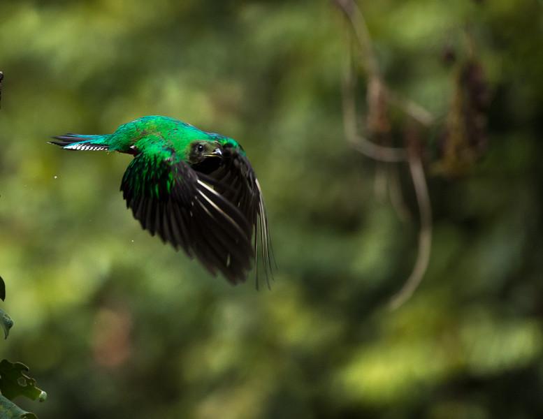 Quetzal female, Costa Rica
