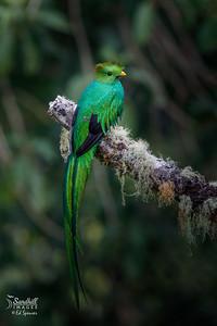 Beautiful male resplendent quetzal