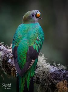 Female resplendent quetzal with avocado, their favorite food