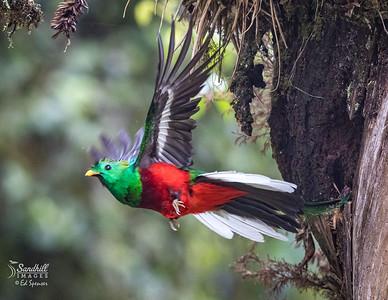 Beautiful male resplendent quetzal leaving nest