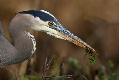 Great Blue Heron with Frog Tidbit