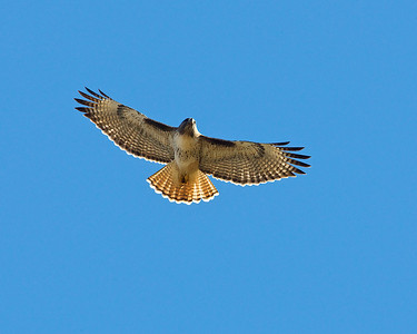 Red-tailed Hawk IF