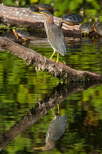 Green Heron and Painted Turtles