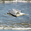 Ring-Billed Gull <br /> Tybee Island