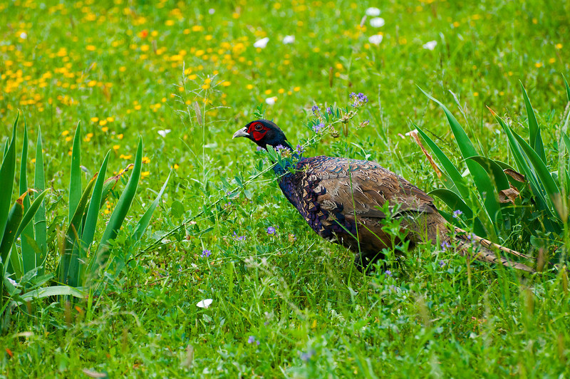 Adult Male Ring-necked Pheasant