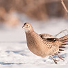 APH-11014: Hen Pheasant taking flight