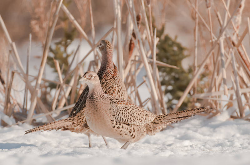 APH-11009: Pair of Hen Pheasants
