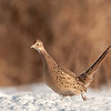APH-10010: Running hen pheasant