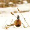 APH-13-26: Ring-necked Rooster Pheasant