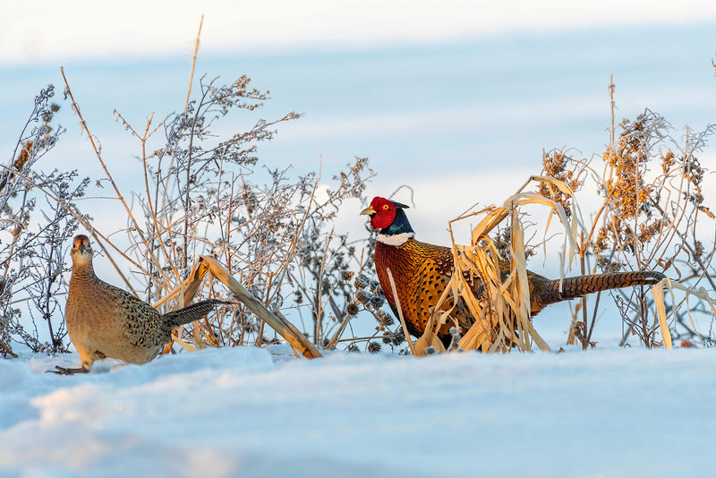 Rooster chasing hen