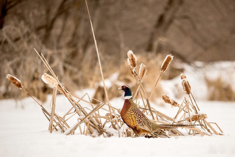 APH-13-102: Ring-necked Pheasant in winter habitat