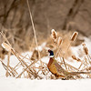 APH-13-102: Ring-necked Pheasant in winter habitat