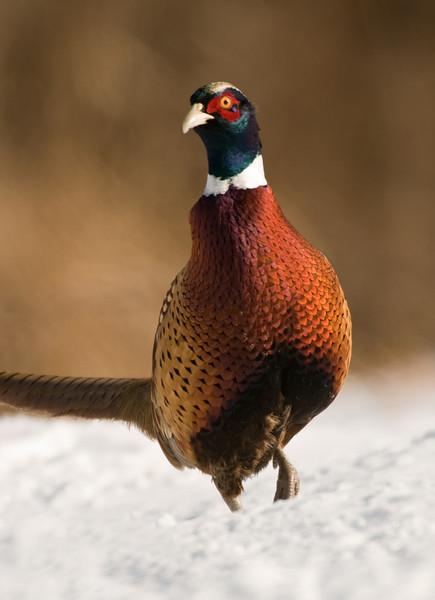 APH-10018: Cautious Rooster Pheasant