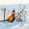 Alert Rooster