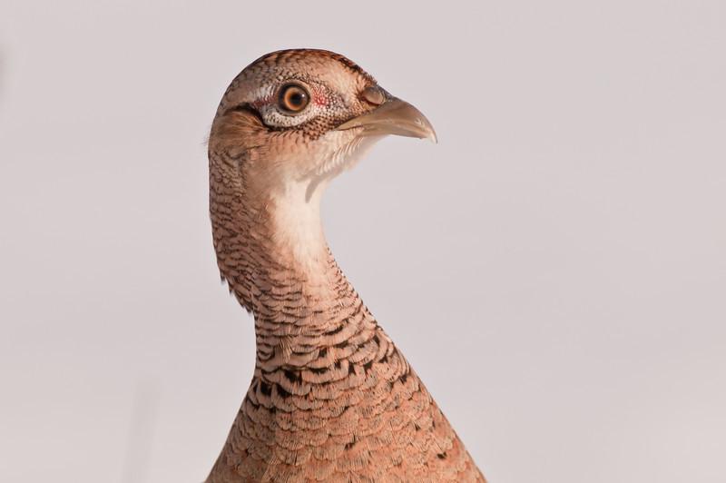 APH-11003: Hen Pheasant