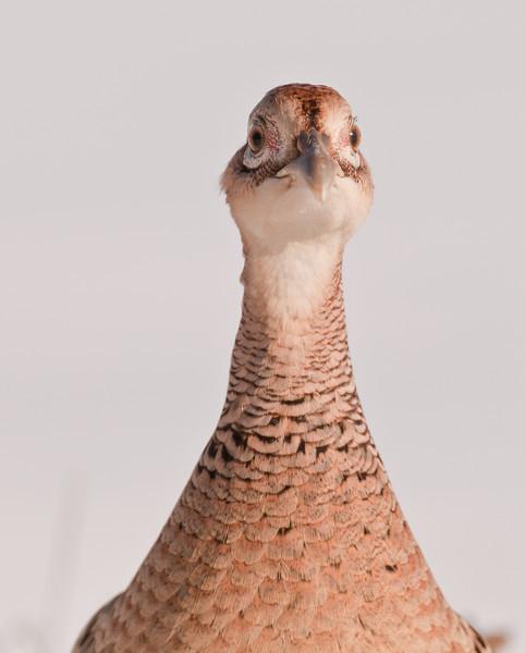 APH-11002: Hen Pheasant portrait