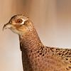 APH-10078: Hen pheasant portrait