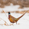 APH-13-85: Ring-necked Pheasant in falling snow
